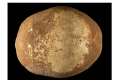 The 55,000-year-old anatomically modern human skull found in the cave. Photo: Clara Amit, Israel Antiquities Authority