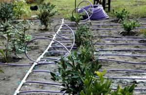Système d'irrigation au goutte à goutte – ou micro-irrigation – mis au point par Netafim, société israélienne active dans plus de 100 pays.