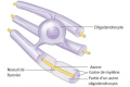 La gaine de myéline des neurones. Dans le système nerveux central, la gaine de myéline d'un neurone est formée par l'enroulement d'une cellule appelée oligodendrocyte autour de la fibre neuronale (Justkeepsmyelin.com)