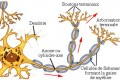 Structure schématique d'un neurone. Les flèches rouges indiquent le sens de progression de l'influx nerveux (crédits : Farish)