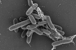 Bactéries qui seront envoyées dans l'espace