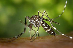 Le moustique Aedes albopictus