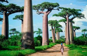 Le Baobab de Grandidier (Adansonia grandidieri) est un arbre de la famille des Bombacaceae.  C'est la plus grande des six espèces de baobabs endémiques de Madagascar. Certains atteignent 30 mètres de hauteur et 7,5 m de diamètre
