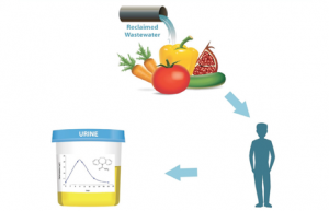 Research showed that healthy individuals who consumed reclaimed wastewater-irrigated produce excreted carbamazepine in their urine  Copyright: Image courtesy of the Hebrew University of Jerusalem