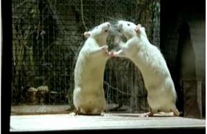"""Des rats observés en situation de stress (film """"Mon oncle d'Amérique"""")"""
