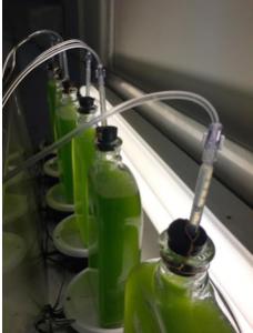 Expérience montrant l'émission accrue d'hydrogène par des algues fabriquées (bulles à la surface du liquide dans la bouteille) par rapport aux algues naturelles (sans bulles) (Crédit: Université de Tel-Aviv)