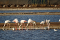 Flamants roses, Eilat salt pool (photo Dov Greenbalt for SPNI)