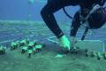 Culture du corail à Eilat