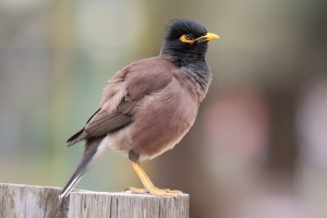 Invasive common myna (Acridotheres tristis); photographer: Ehud Fast
