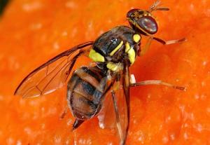 Bactocéra Dorsalis