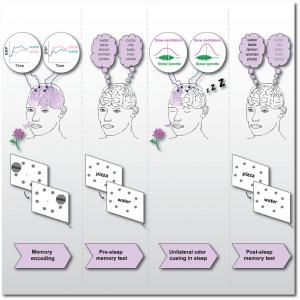 Bar et al. Résumé graphique de la chronologie expérimentale : encodage en mémoire des emplacements des mots en présence d'odeur de rose; test de mémoire avant le sommeil; odeur de rose délivrée à une seule narine pendant le sommeil; test de mémoire après le sommeil. (Crédit: Ella Bar)