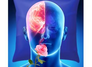 L'odeur de rose délivrée à une seule narine pendant le sommeil, stimule les souvenirs stockés dans l'hémisphère du même côté. (Crédit : Sharon Tsach)
