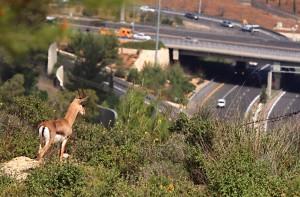 Mountain gazelle looking at a highway intersection, Jerusalem mountains, Israel (photo: Amir Balaban)