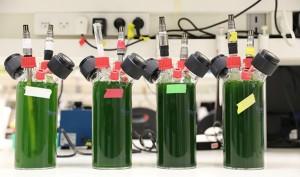 Production d'énergie à partir de plantes (Crédit: Prof. Iftach Yacoby)
