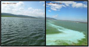 Le réservoir d'irrigation de Mishmar Haemeq (10 ha, ~ 25 acres) dans le nord d'Israël a été traité plus tôt cette semaine avec Lake Guard Blue à un taux de 10 kg/ha avec des résultats immédiats. La distribution spatiale parfaite des granules flottants à libération temporelle autour des agrégats cyanobactériens, visibles sur le côté droit, contribue à la capacité du Lake Guard à réduire la prolifération toxique avec une précision chirurgicale, en utilisant une dose record sans limitation de taille. À leur tour, les algues vertes non toxiques prennent le relais de la niche écologique et remplissent leur rôle compétitif naturel de remédiateur biologique, contribuant à la longévité du traitement.