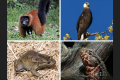 Some of the range-restricted evolutionary unique species. The Red ruffed lemur (photo credit: Charles J Sharp), Madagascar fish eagle (photo credit: Anjajavy le Lodge), Hula painted frog (photo credit: Gopal Murali - own image), and Chinese Crocodile Lizard (photo credit: Holger Krisp). All images from Wikimedia Commons.
